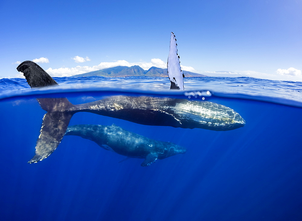 A split image of a pair of humpback whales (Megaptera novaeangliae) underwater in front of the West Maui Mountains just south of Lahaina, Maui, Hawaii, United States of America