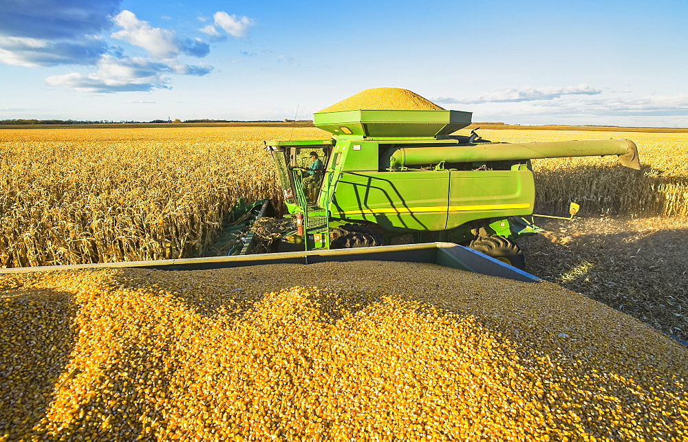 A combine harvester full of feed/grain corn next to a farm truck loaded with the crop, during the harvest near Niverville, Manitoba, Canada