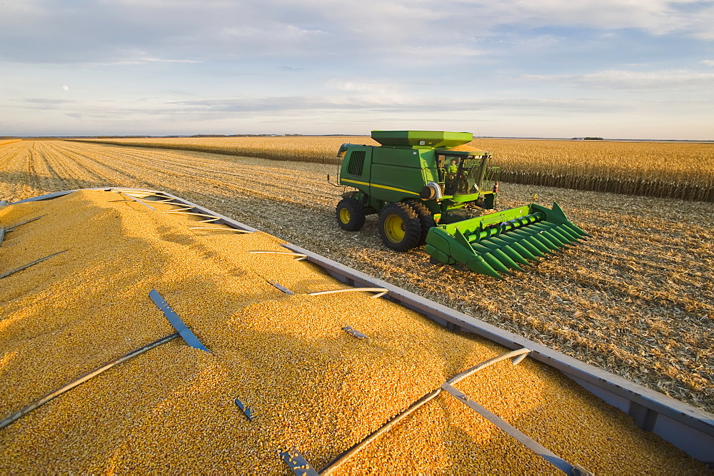Harvested feed/grain corn in the back of a farm truck with a combine harvester in the background during the harvest, near Niverville, Manitoba, Canada