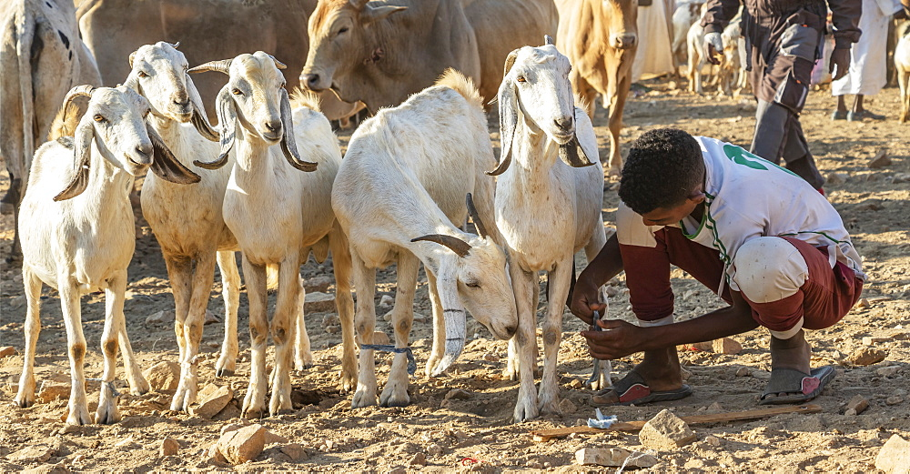 Eritrean herders with goats and sheep at the Monday livestock market, Keren, Anseba Region, Eritrea