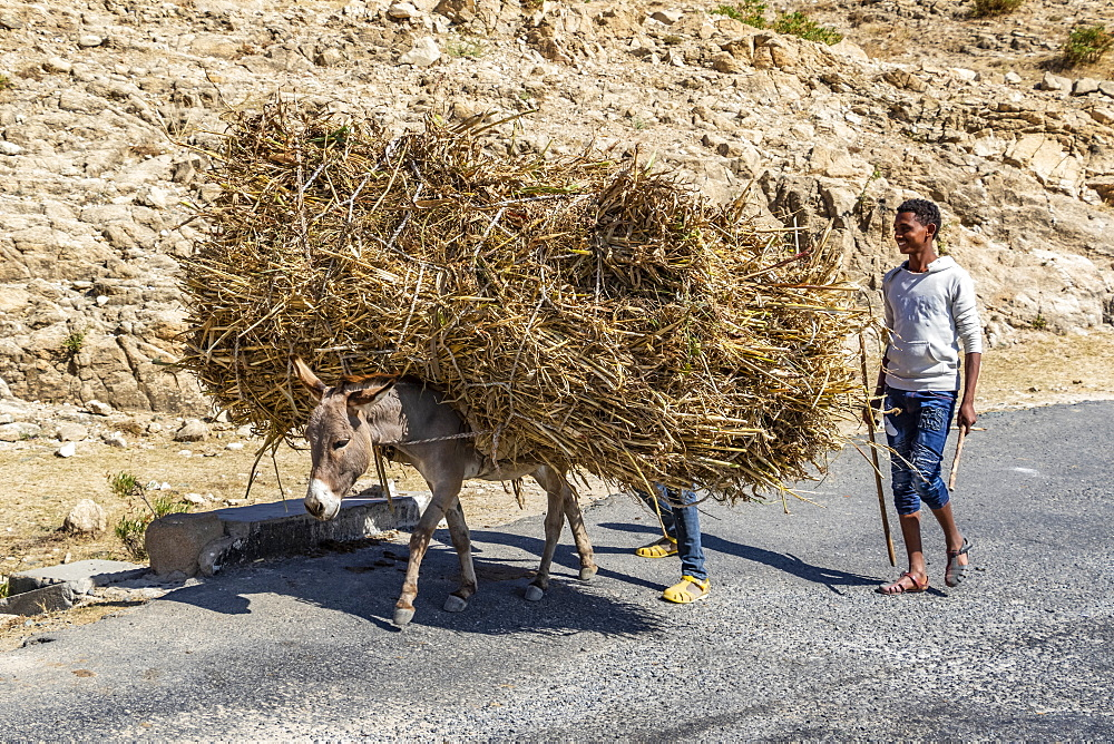 Man and donkey carrying brushwood, Adi-Teklezan, Anseba Region, Eritrea