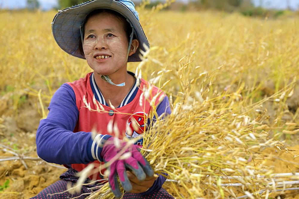 A woman farming grain, Taungyii, Shan State, Myanmar