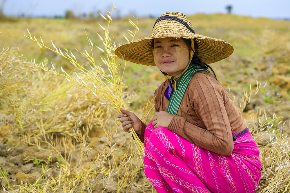 A young woman farming grain, Taungyii, Shan State, Myanmar