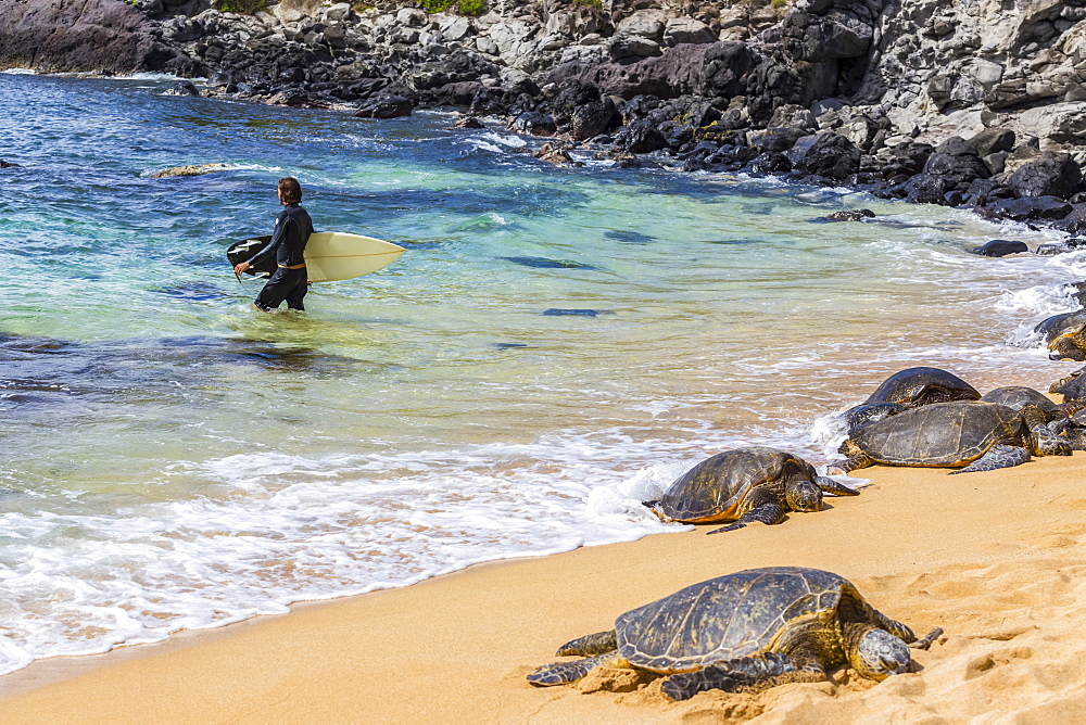 A male surfer walks away from the shoreline towards the pacific ocean surf. Green sea turtles (Chelonia mydas) nap on the sand on the edge of the beach to catch the sun on famous Hookaipa Beach, Paia, Maui,Hawaii, United States of America