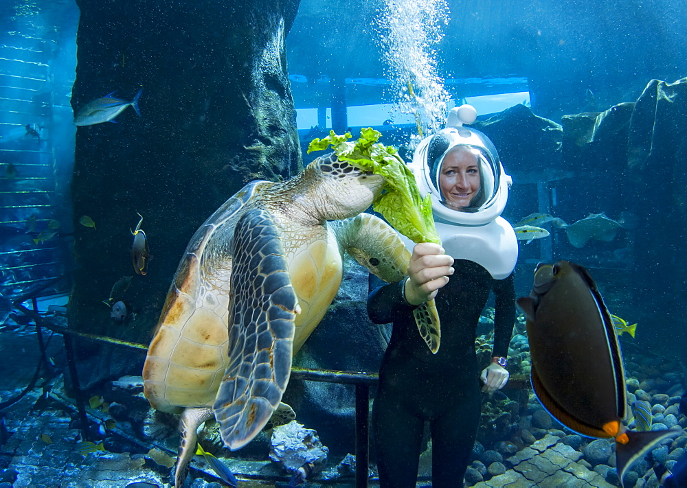 A diver feeds a green sea turtle (Chelonia mydas), an endangered species, at Sea Life Park's Underwater Sea Trek Adventure in their big tank, Oahu, Hawaii, United States of America
