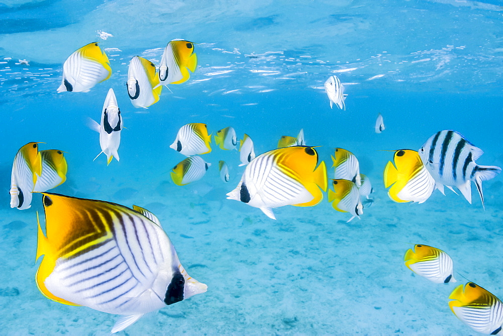 Schooling Threadfin butterflyfish (Chaetodon auriga) in Rarotonga Lagoon, Cook Islands