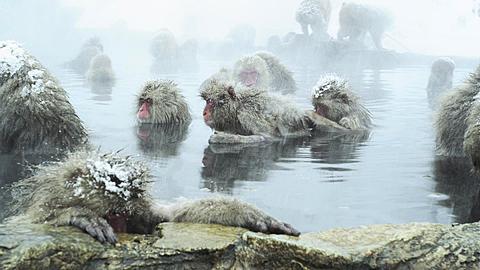 The Japanese Macaque (Snow) Monkeys enjoying a bath in the Onsen of Jigokudani yaenkoen, Nagano Prefecture, Japan