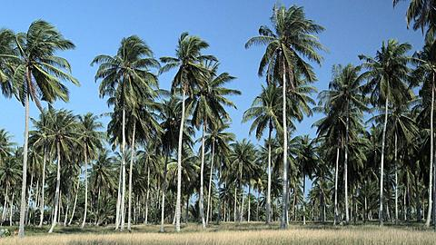 Palm Trees in Phang Nga