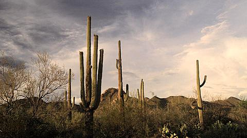 Cactuses in Saguaro National Park, Arizona, United States of America