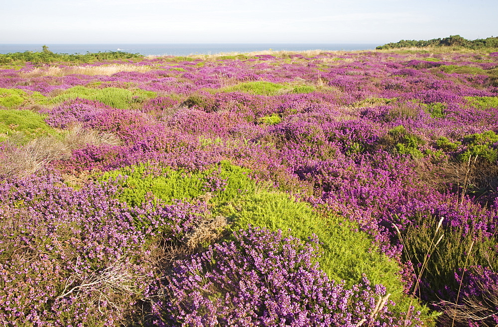 Heather in flower with view to the sea, Dunwich Heath, Suffolk, England, United Kingdom, Europe - 1121-5