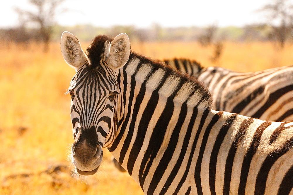 Desert zebra, Skeleton Coast, Namibia, Africa - 1125-160