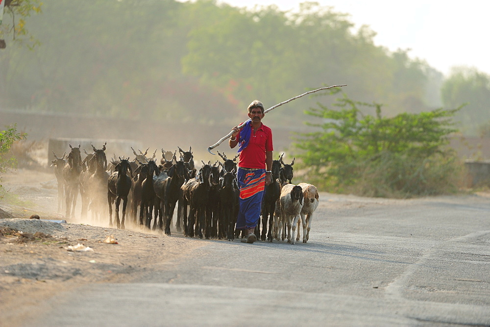 Shepherd returning home, Gujarat, India, Asia