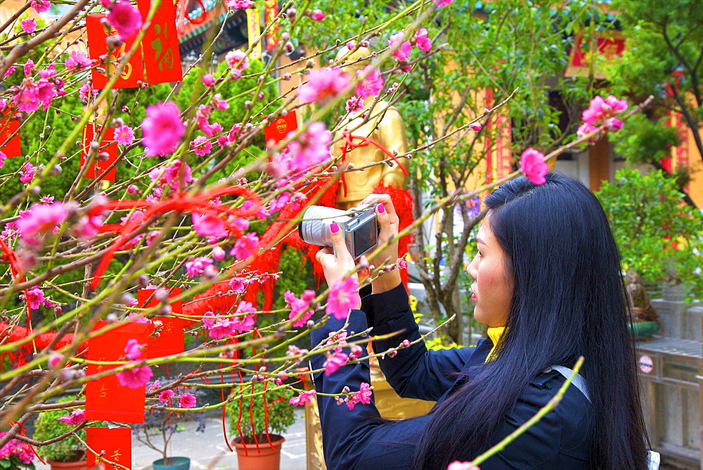 Cherry Blossom Trees With Lai See Red Envelopes For Chinese New Year, Hong Kong, China, South East Asia - 1126-1648