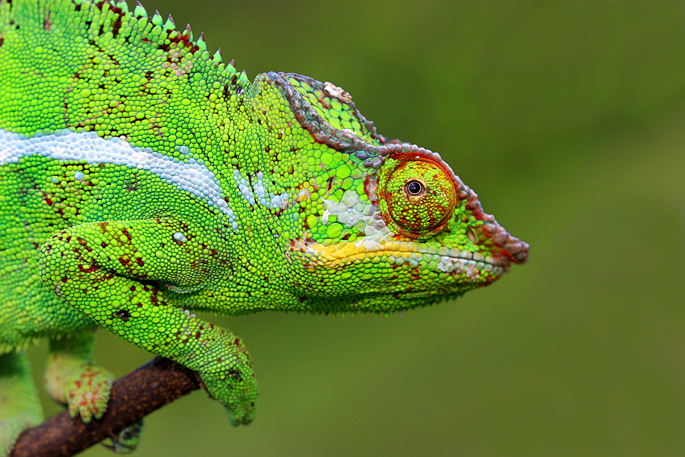 Panther Chameleon, male, Madagascar / (Furcifer pardalis) / side