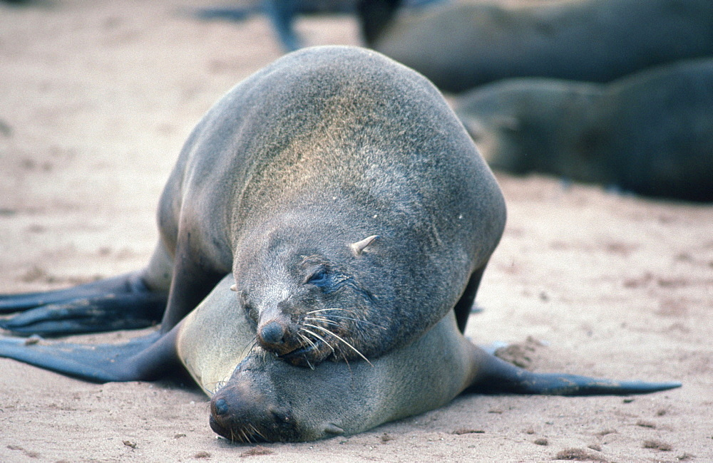 South African Fur Seals, pair, mating, Cape Cross, Namibia / (Arctocephalus pusillus) / Suedafrikanische Seebaeren, Paar, kopulierend, Cape Cross, Namibia / Zwergseeb√ɬ§r, Suedafrikanische Pelzrobbe, S√ɬºdafrikanischer Seeb√ɬ§r, S√ɬ