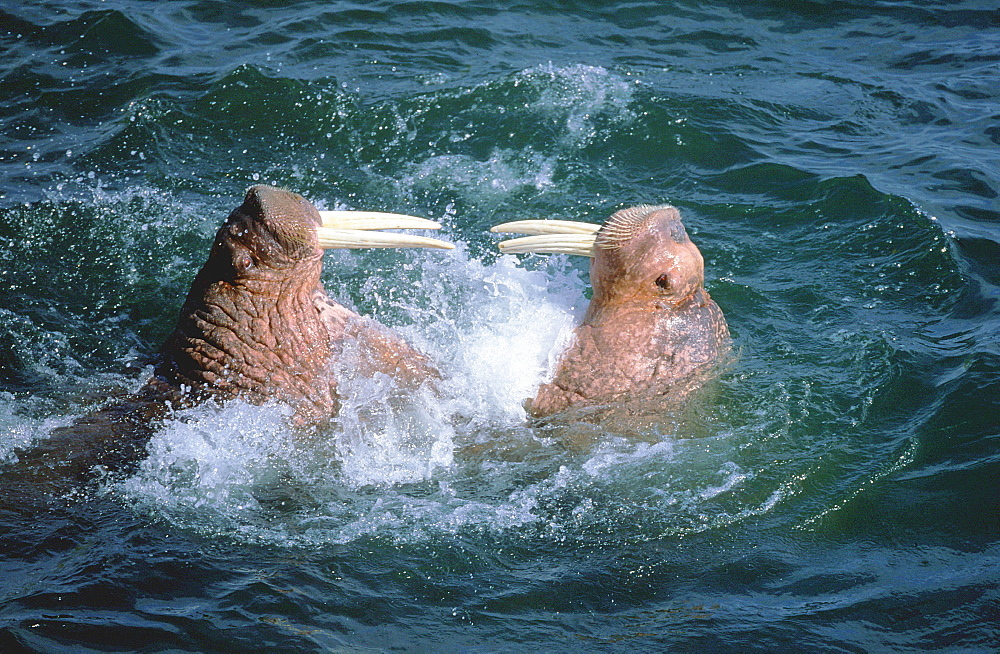 Pacific Walrus, fighting bulls, Walrus Island State Game Sanctuary, Alaska, USA / (Odobenus rosmarus divergens)