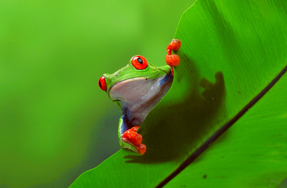Red-eyed Tree Frog, female / (Agalychnis callidryas)