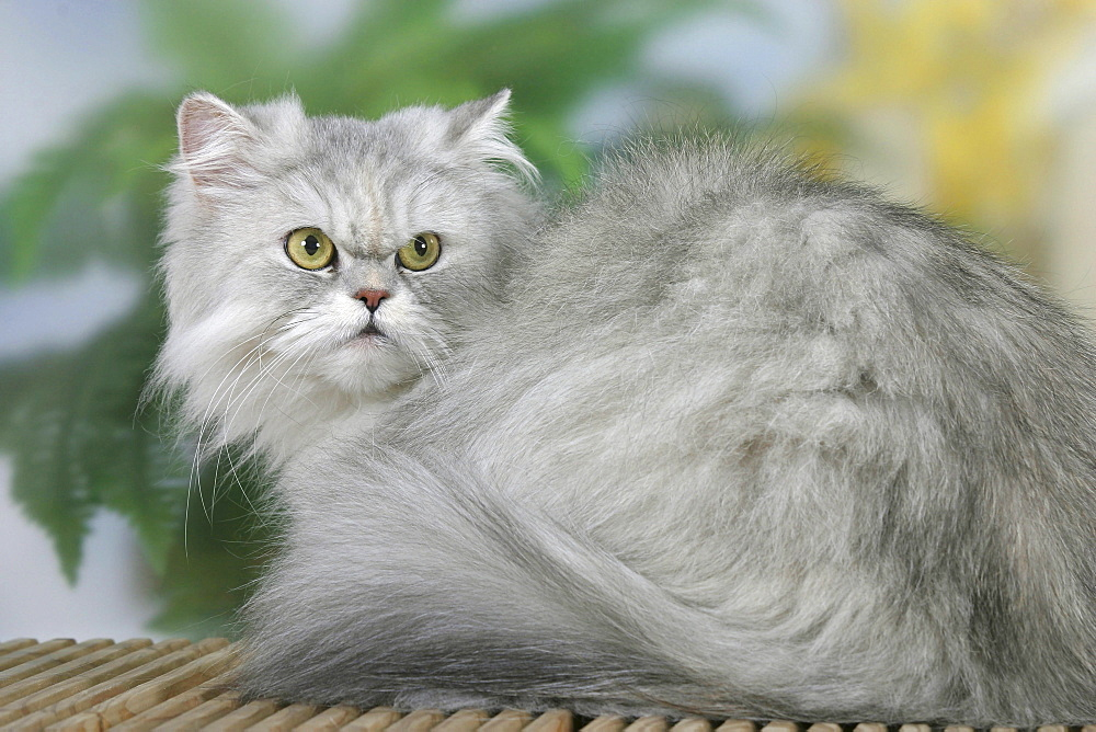 Persian Cat, silver-shaded-tortie  - 1127-1105