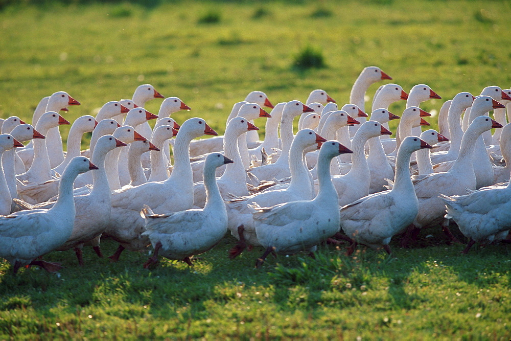 Free-range Domestic Geese