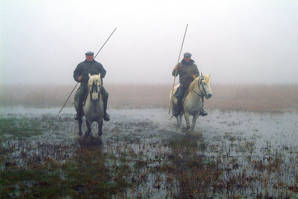 Guardians with Camargue Horses in marshland in mist, Camargue, Provence, Southern France