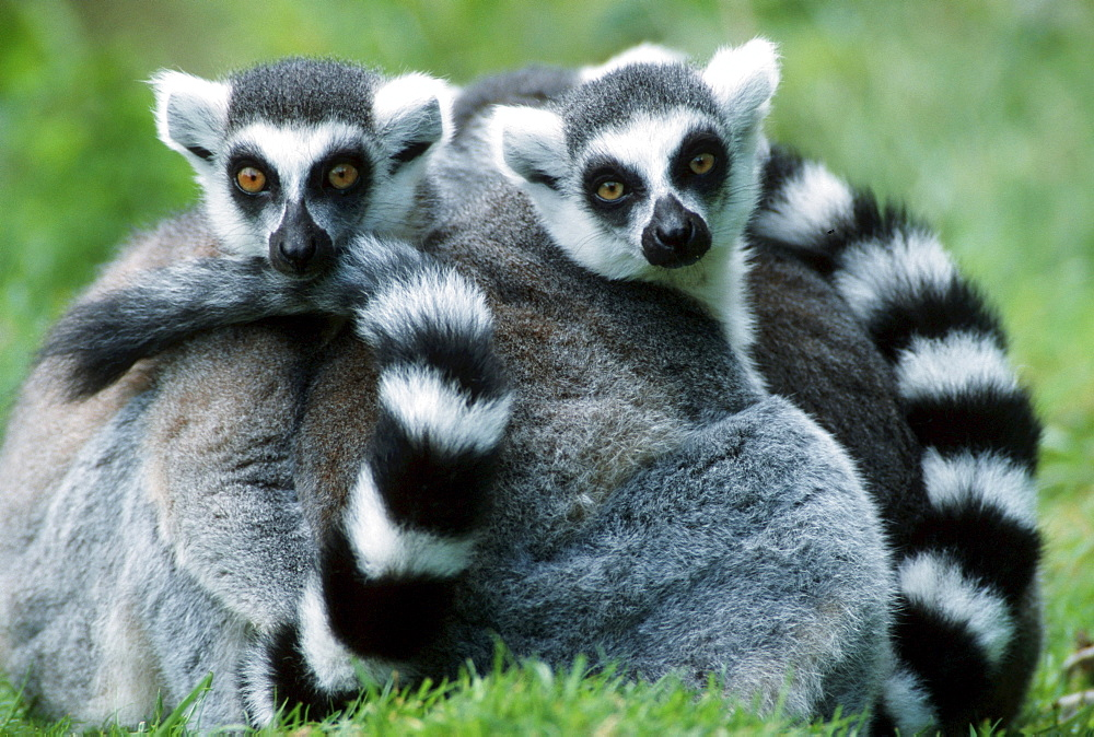 Ring-tailed Lemurs, pair / (Lemur catta)