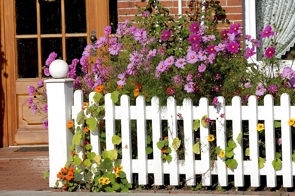 Cosmea at fence of guest house, Bensersiel, Lower Saxony, Germany / (Cosmos bipinnatus)