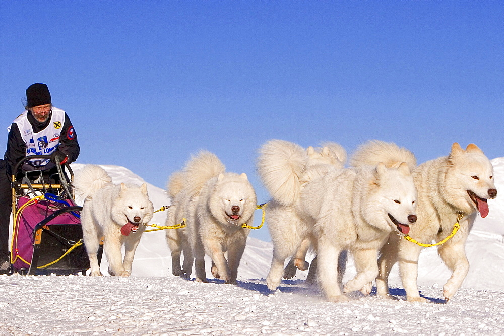 Sledge dog race at Wildkogel, Neukirchen, Pinzgau, Salzburger Land, Austria / Wildkogel Longtrail, Samoyed, Samoyed