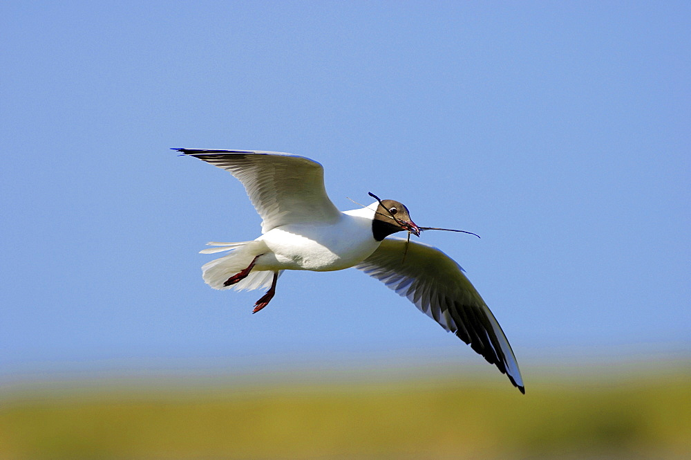 Black-headed Gull, Texel, Netherlands / (Larus ridibundus)