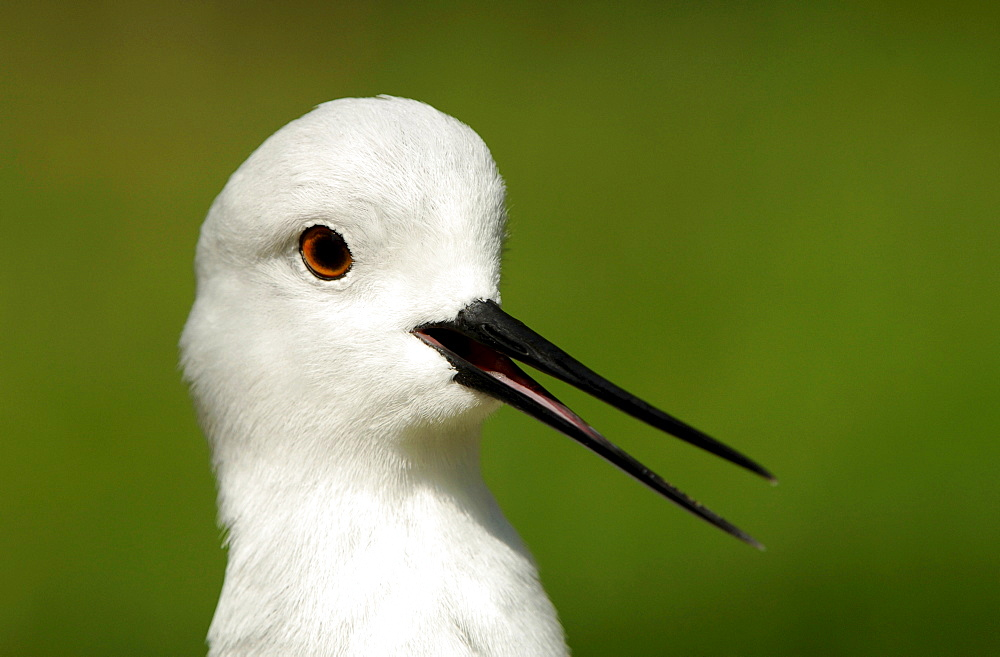 Black-winged Stilt / (Himantopus himantopus)