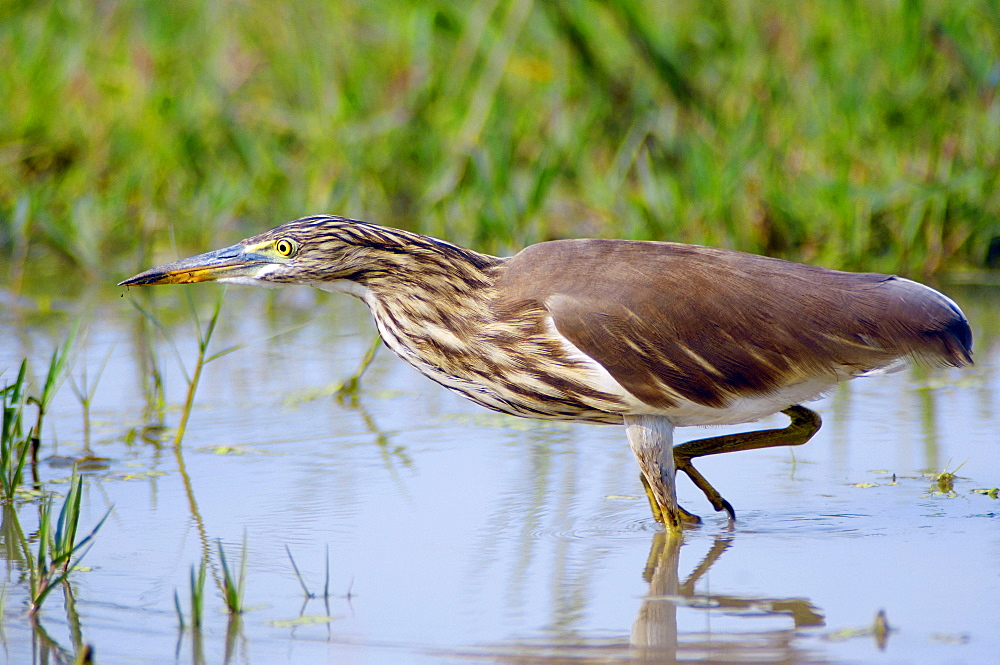Indian Pont-Heron, Keoladeo Ghana national park, Rajasthan, India / (Ardeola grayii)
