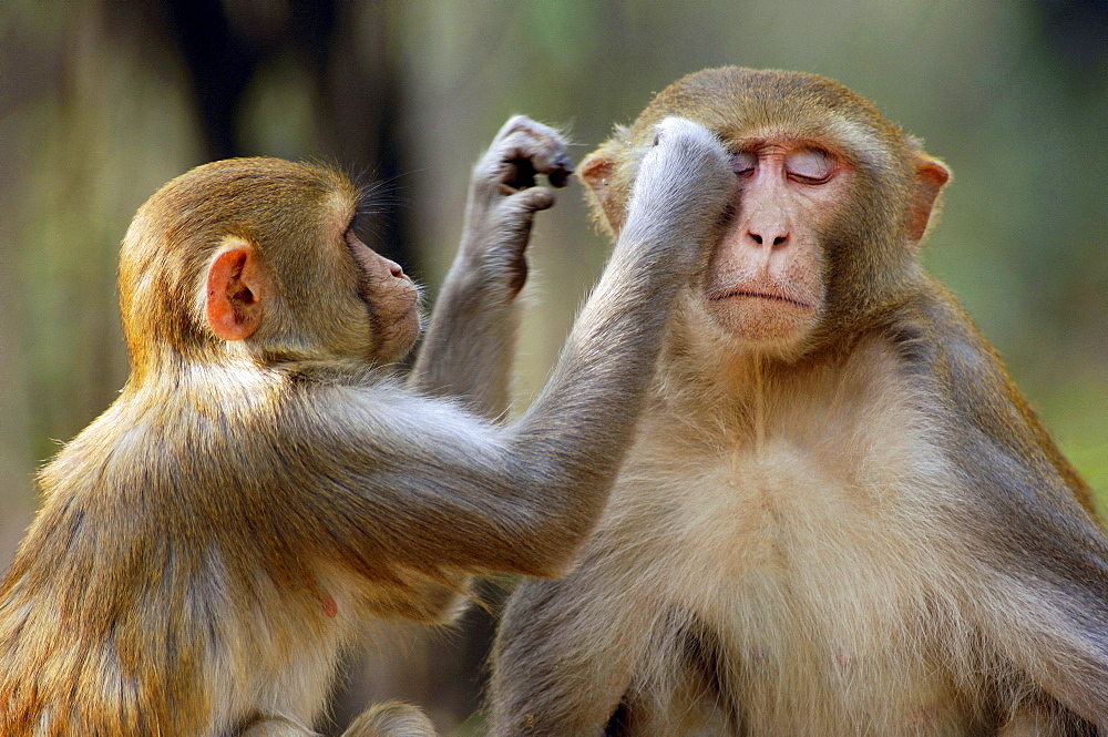 Rhesus Monkeys, grooming, Keoladeo Ghana national park, Rajasthan, India / (Macaca mulatta) / Rhesus Macaque