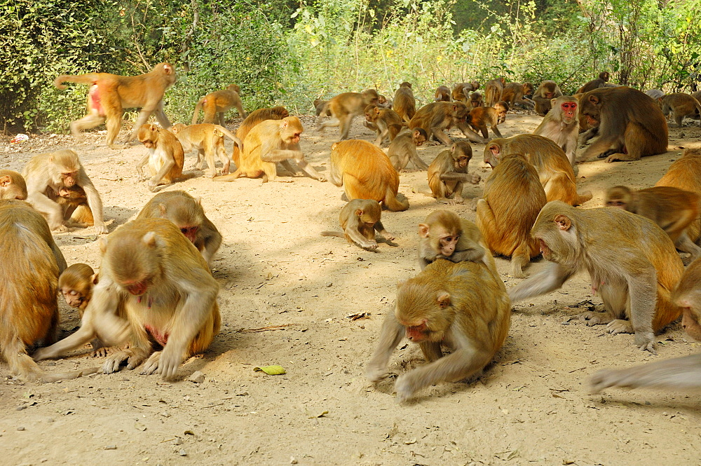 Rhesus Monkeys, Keoladeo Ghana national park, Rajasthan, India / (Macaca mulatta) / Rhesus Macaque