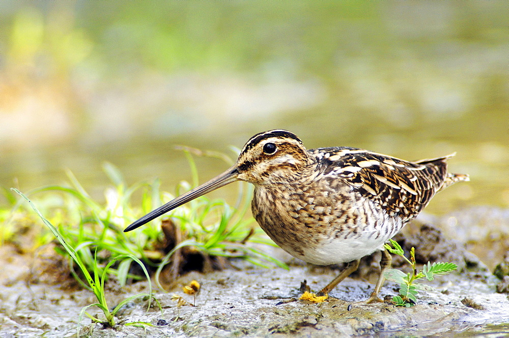 Common Snipe, Keoladeo Ghana national park, Rajasthan, India / (Gallinago gallinago)