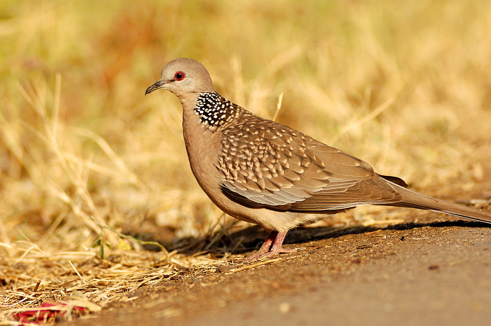 Spotted Dove, Keoladeo Ghana national park, Rajasthan, India / (Streptopelia chinensis) / side