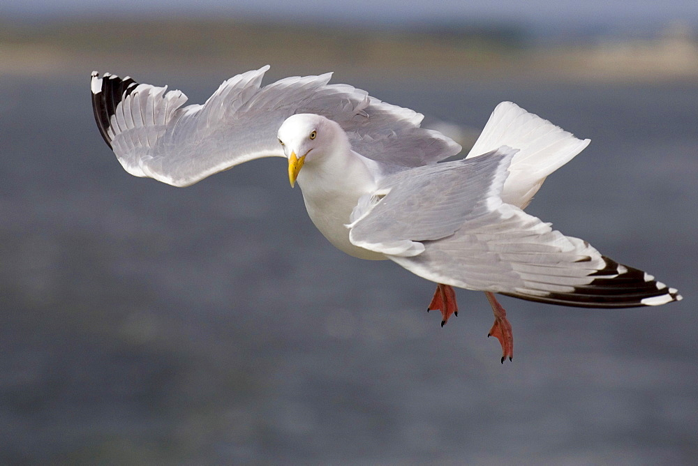 Herring Gull, Lower Saxony, Germany / (Larus argentatus)