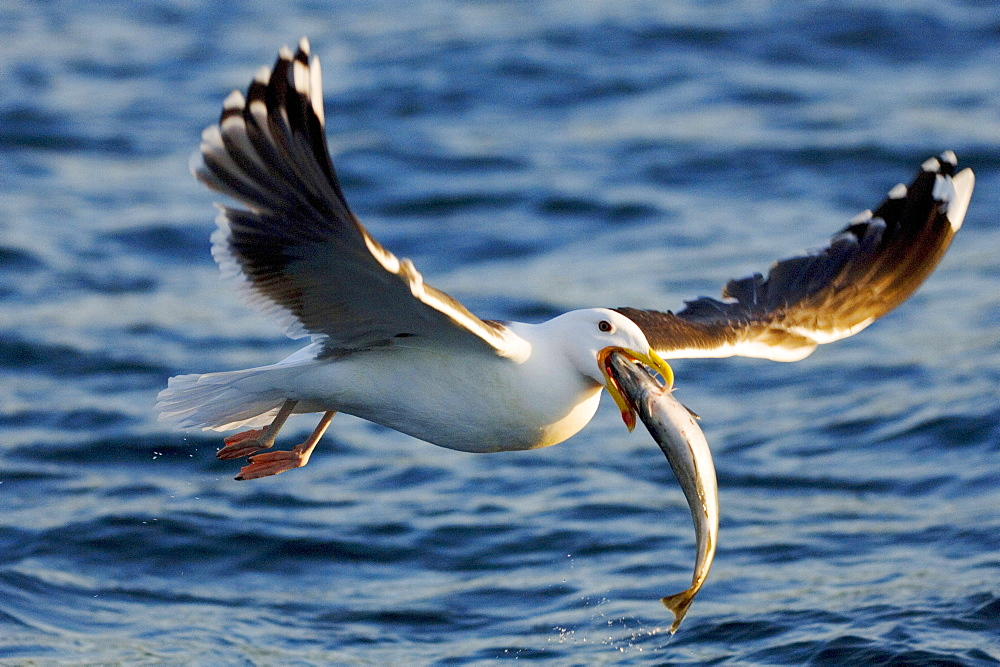 Lesser Black-backed Gull with fish, Norway / (Larus fuscus)