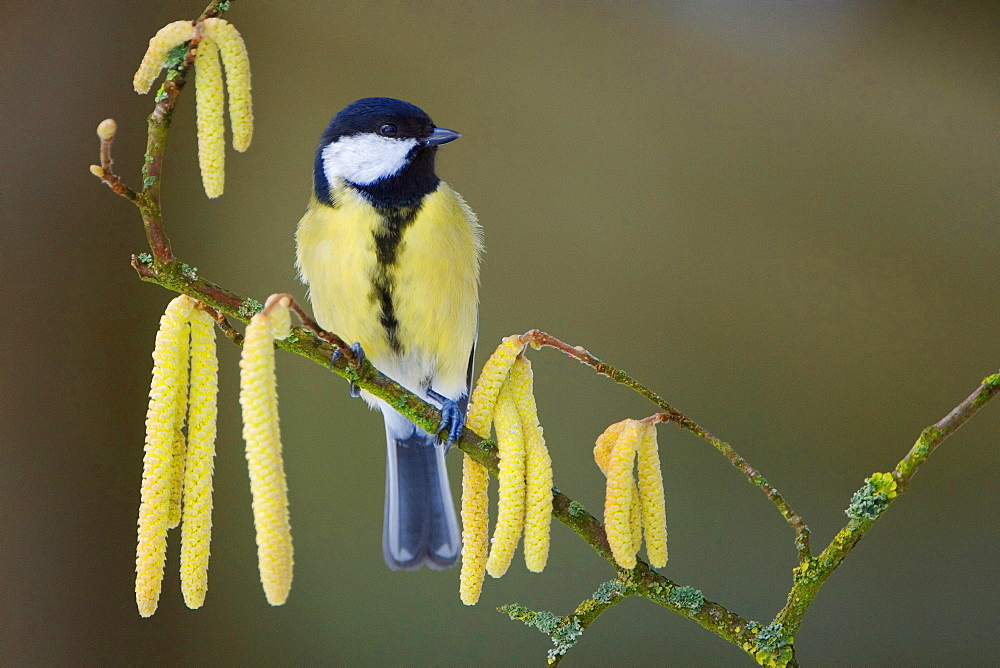 Great Tit, Lower Saxony, Germany / (Parus major)