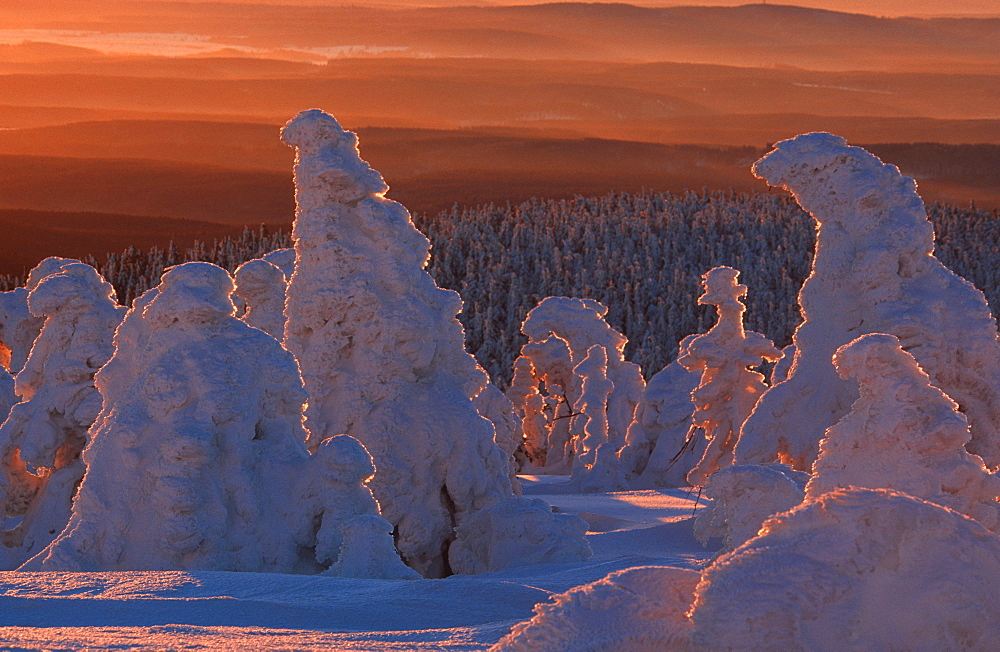 Snowcovered Trees, mountain Brocken, national park Hochharz, Harz, Saxony-Anhalt, Germany / (Picea abies)