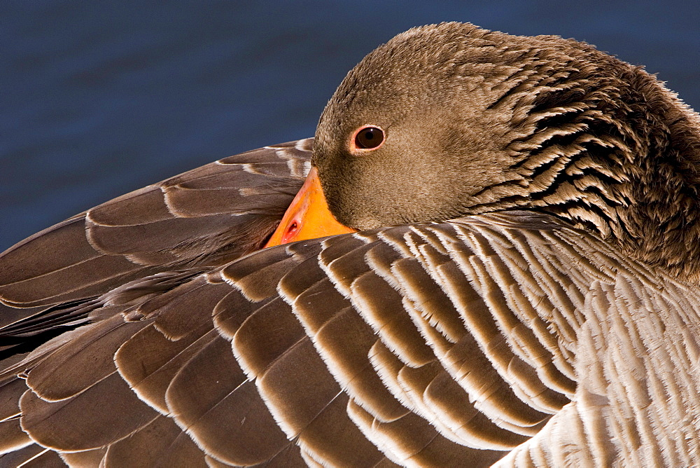 Greylag Goose, Lower Saxony, Germany / (Anser anser)