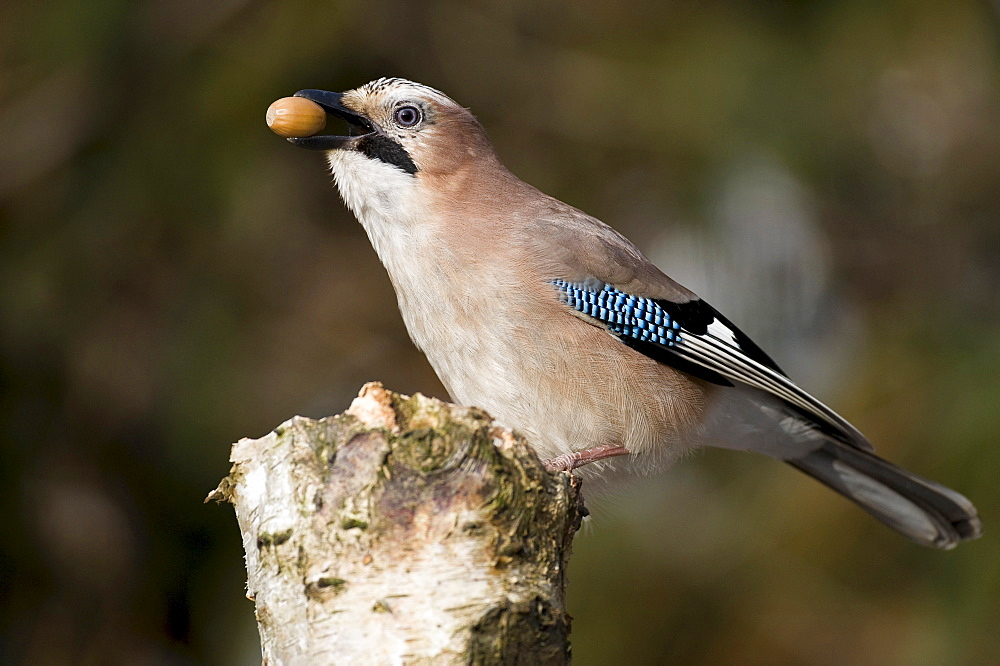 Jay with acorn, Lower Saxony, Germany / (Garrulus glandarius)