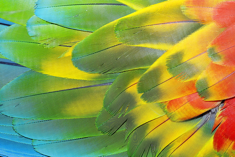 Hybrid between Scarlet Macaw and Green-winged Macaw, plumage detail / (Ara macao x Ara chloroptera) / Red-and-Green Macaw
