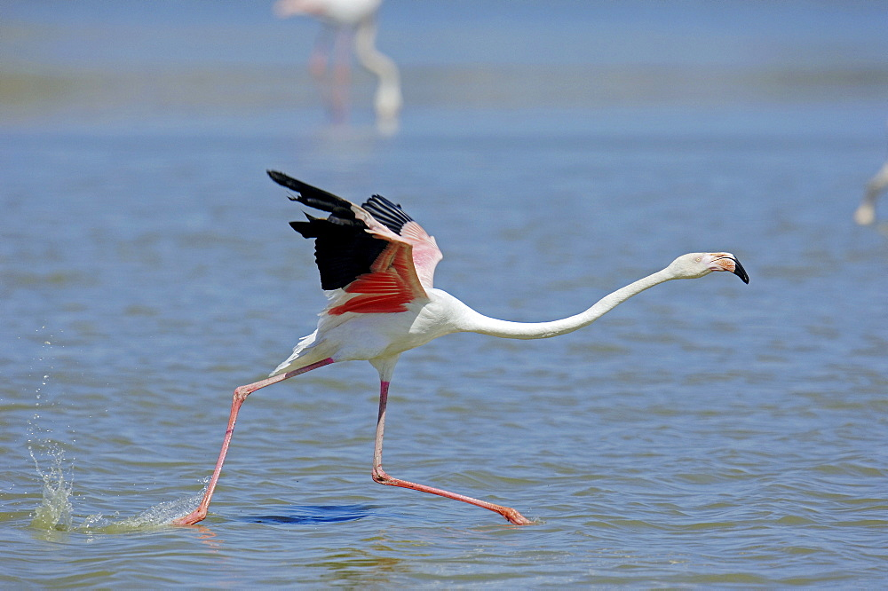 Greater Flamingo, starting, Camargue, Provence, Southern France / (Phoenicopterus ruber roseus) / side