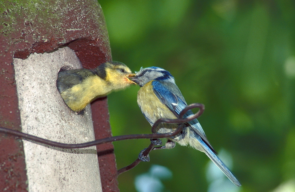Blue Tit feeding young, North Rhine-Westphalia, Germany / (Parus caeruleus)