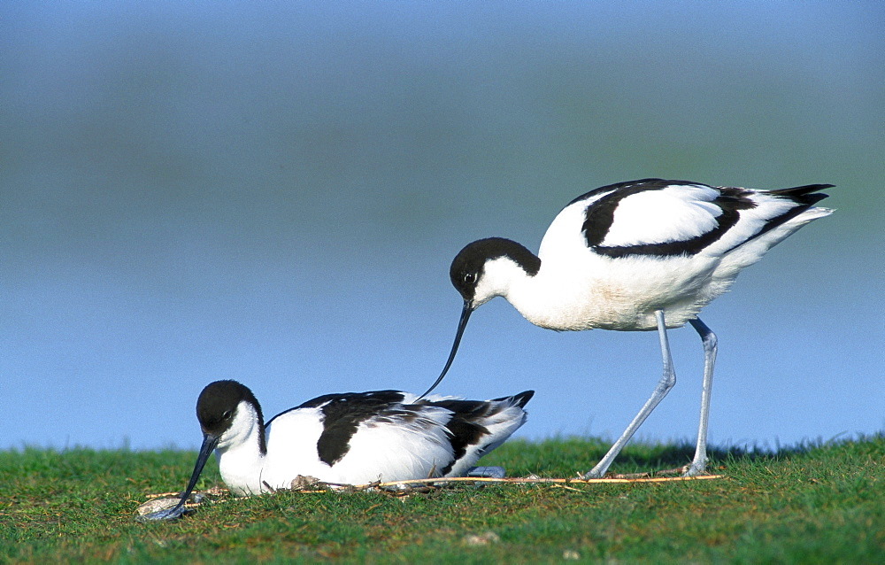 Avocets, pair at nest, Texel, Netherlands / (Recurvirostra avosetta) /side