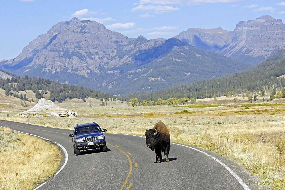 American Bison, bull crossing road, Yellowstone national park, Wyoming, USA / (Bison bison) / bull