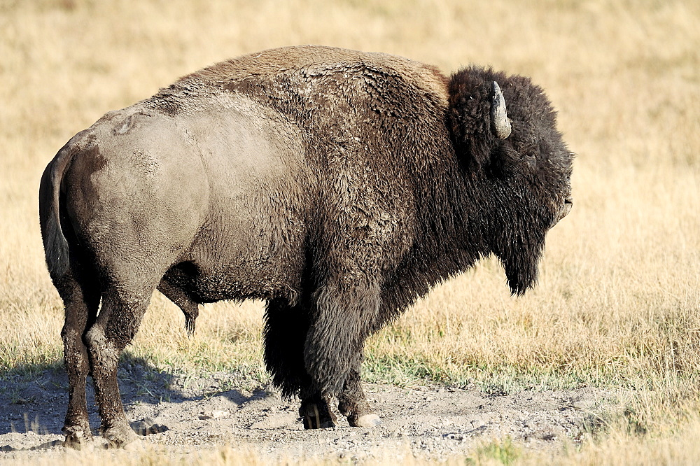American Bison, bull, Yellowstone national park, Wyoming, USA / (Bison bison) / side