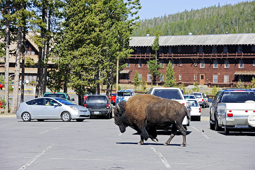 American Bison, bull crossing parking place, Yellowstone national park, Wyoming, USA / (Bison bison)