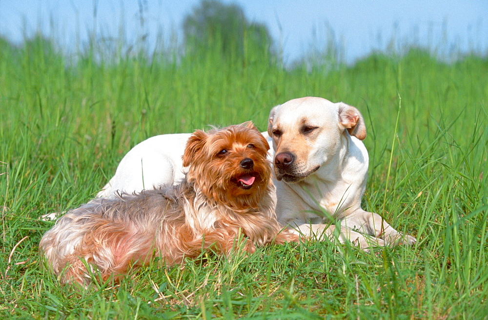 Labrador Retriever and Yorkshire Terrier