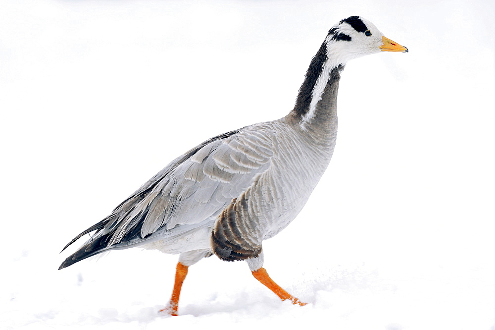 Bar-headed Goose / (Anser indicus) / side
