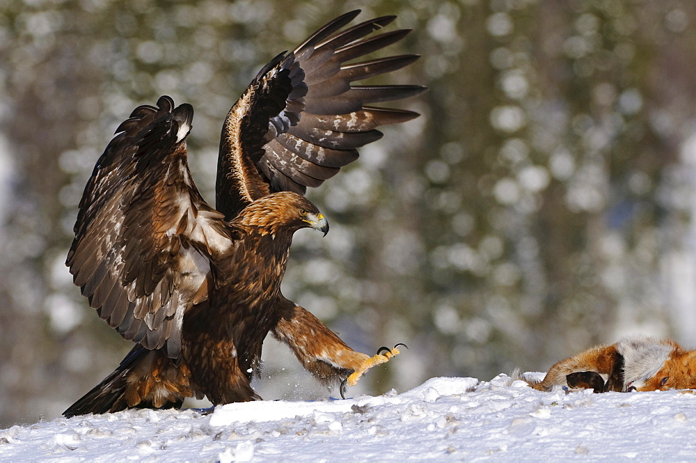 Golden Eagle with fox carcass, Norway / (Aquila chrysaetos)